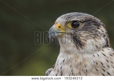Very close profile portrait of a peregrine saker hybrid falcon looking left