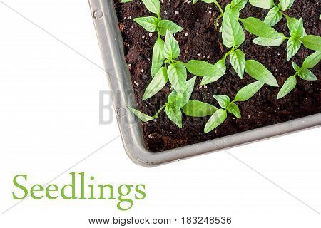Young green seedlings plants growing in compost trays the view from the top close-up, isolated on white background