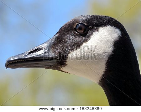 The portrait of a Canadian goose on the bank of Oakbank Pond in Thornhill Canada