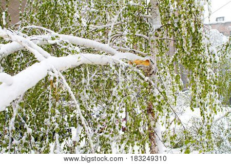 Birch with green leaves broken by snow in April.