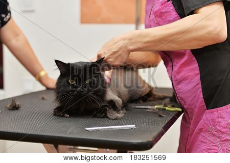 Haircut at the barber's cat. Selective focus on the cat's face.