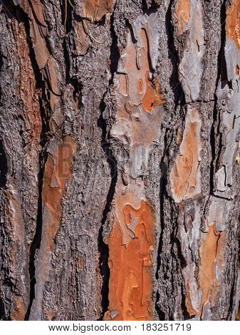 Close-up of bark of an old Mediterranean spruce pine