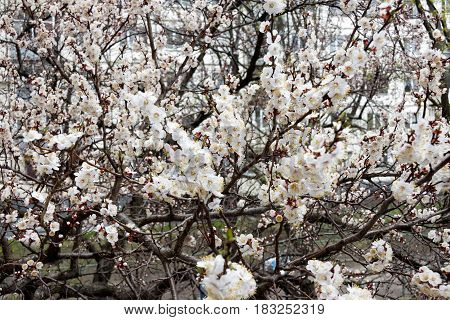 Apricot tree flower seasonal floral nature background