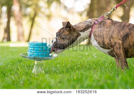 English bulldog puppy eating a blue cake outdoors in nature on its birthday.