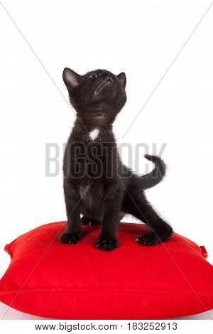 Studio shot of adorable young black kitten posing on red pillow