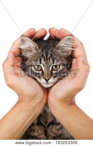 Studio shot of adorable young kitten lies in the hands