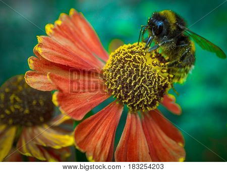 bee on coneflower echinacea with red petals. side view