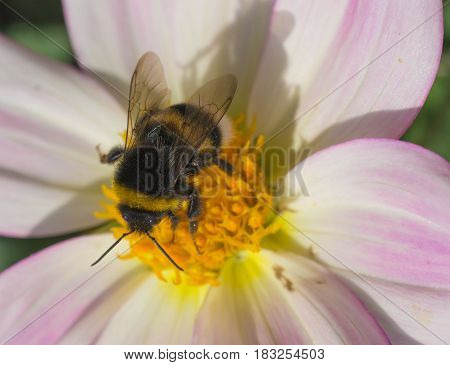 honeybee collects pollen on pink flower. macro shot from above