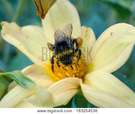 honeybee collects pollen on yellow flower at garden. macro shot from top
