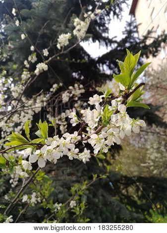 Beautiful flowering apple tree branch on a blurred wood background. Flowering fruit trees in the spring. Large white flowers and light green young leaves
