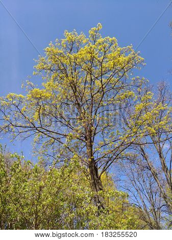 Young tall trees with green leaves on blue sky background. Fresh spring foliage in sunny clear weather