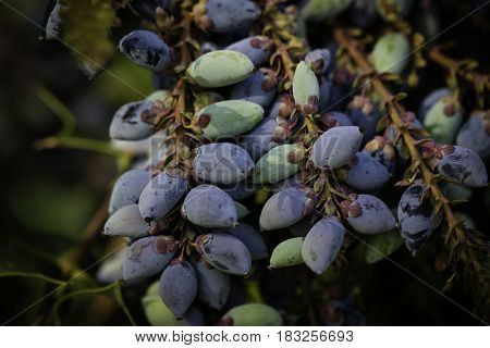 Fresh, exotic, berry, frosted, purple, color, plant