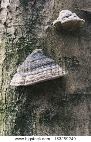 Two Fomes Fomentarius On The Tree In The Wood, Background