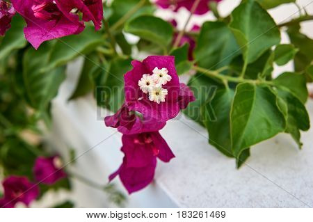 Bougainvillea is pink flowers, on the outskirts of Alicante, Spain