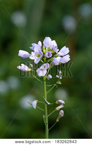 Pale pink flowers of Cuckoo Flower or Lady's Smock in Sussex countryside.