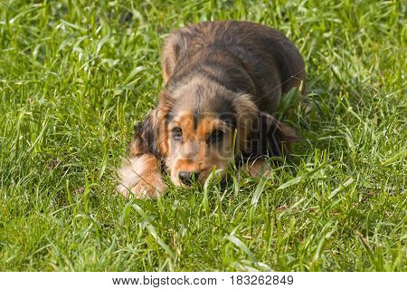 Sable-coloured English Show Cocker Spaniel Puppy lying on grass waiting to play.
