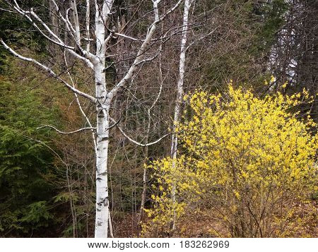 This forsythia lives beside a white birch, and evergreens.