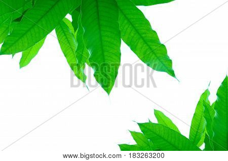 The texture of the green leaves and white background.