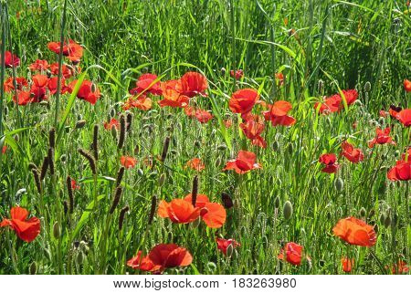 Spring poppies flowers in a field. Day light