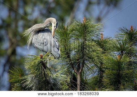 A great blue heron in the tree by Fernan Lake in Idaho preens itself.