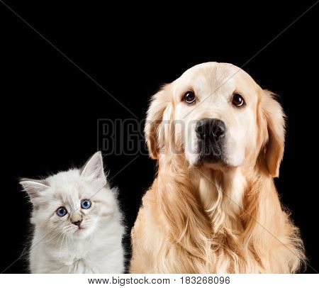 Close-up portrait of a cat and dog. Isolated on black background. Golden retriever and neva masquerade.