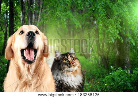 Cat and dog together , Golden retriever and siberian in front of green trees.