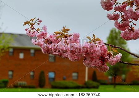 Sakura. Cherry Blossoms Pink Spring Blossom Background.