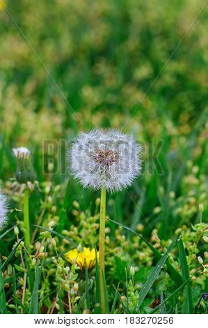 Detail Blossom Common Dandelion