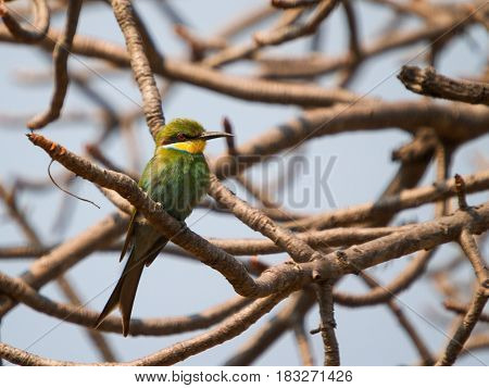 Swallow-tailed bee-eater (Merops hirundineus chrysolaimus) on branch in leafless tree.