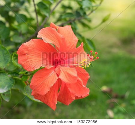 Closeup of Hibisci Rosae-Sinensis Flower