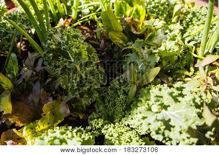 salad, fresh salad, raw salad, fresh various green lettuce salad in the garden, salad concept, green salad, healthy salad, salad food