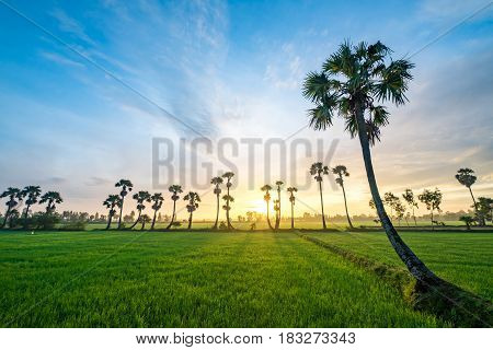 AN GIANG, VIETNAM - OCT 10, 2016 - Sugar palm trees on the paddy field in early morning. Mekong Delta, Chau Doc, An Giang, Vietnam
