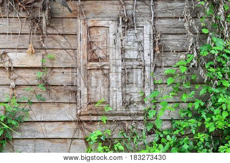 Old wooden window covered with wood roots,use for backdrop or web design.