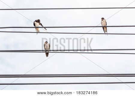 Three birds resting on electric cable lines and cloudy sky background.