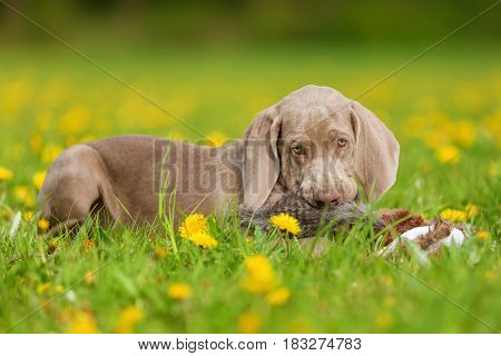 Cute Weimaraner Puppy Playing With A Plushie