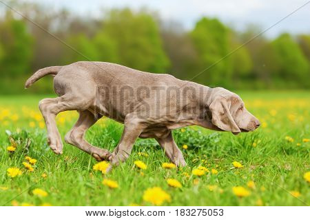 Cute Weimaraner Puppy In A Dandelion Meadow