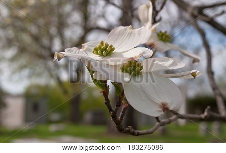 Group of dogwood flowers in the sun