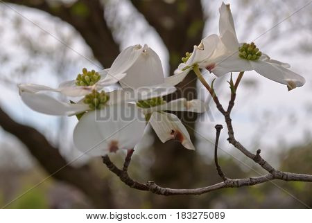 Several white dogwood flowers with a blurred background