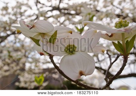 Looking up at pretty white dogwood flowers