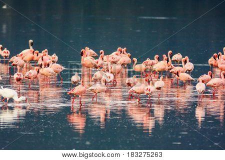 Flamingos flock. Nakuru lake, Kenya. Eastern Africa