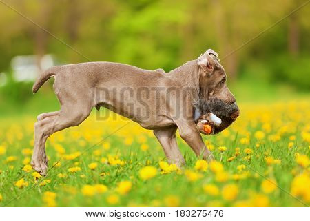 Cute Weimaraner Puppy Runs With A Plushie