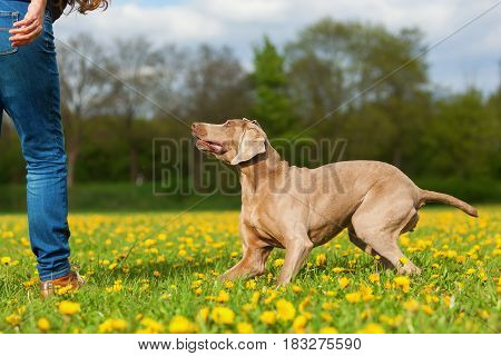 Woman With A Weimaraner Dog In The Meadow