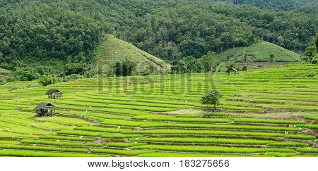 the beautiful rice field from Chaingmai Thailand