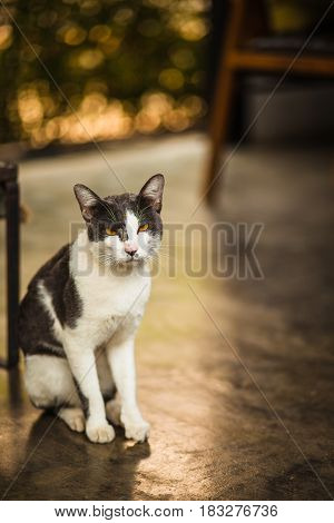 Beautiful white and black Asia cat in home
