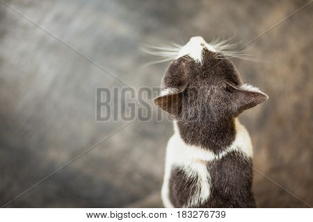 Top view Beautiful white and black Asia cat in home