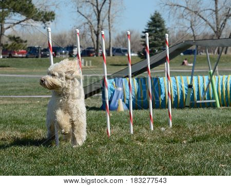 Labradoodle dog weaving though weave poles on dog agility course