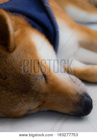 Close up of shiba inu a dog of japan with scarf in blue color sleeping selective focus.