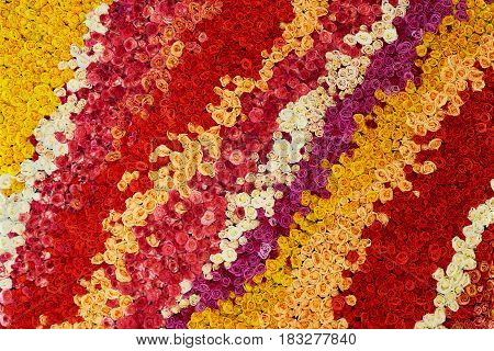 Colourful wall made of roses. Natural flowers.