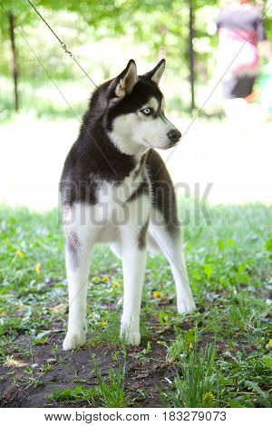 Husky Responsive, Clever, Gentle, Friendly, Watchful. Dog is a friend of man.