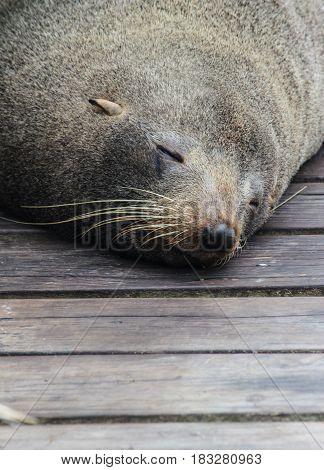 Cute Sleeping Fur Seal On Wood Floor, At Kaikoura New Zealand